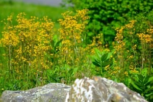 Shenandoah_yellow53015a