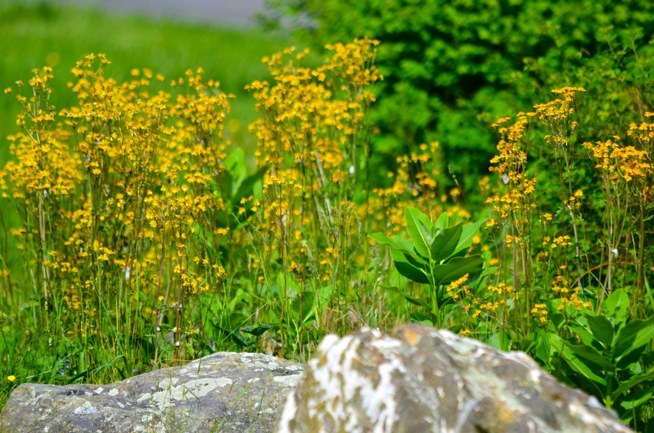 Shenandoah_yellow53015a