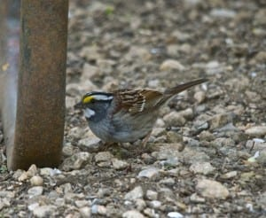 White_throated-sparrow1