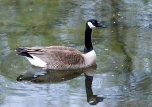 goose1b
