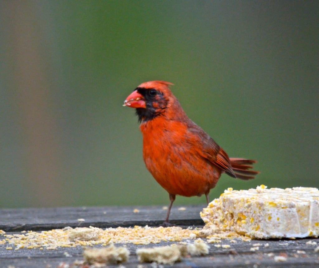 male_cardinal1