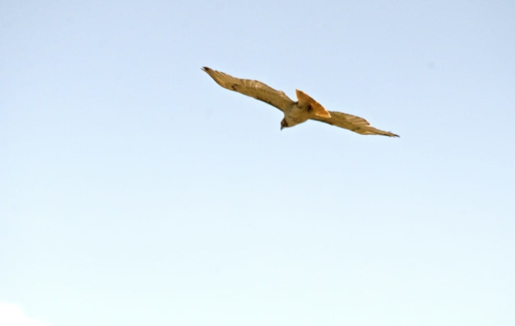 red-tailed_hawk1