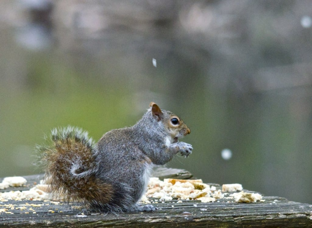 squirrell1
