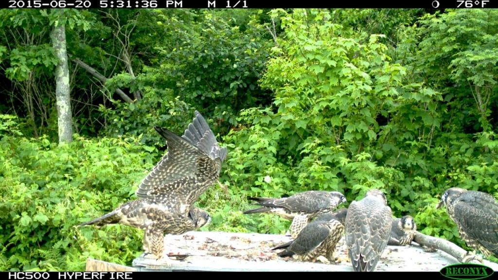 Shenandoah-falcons-quail2j