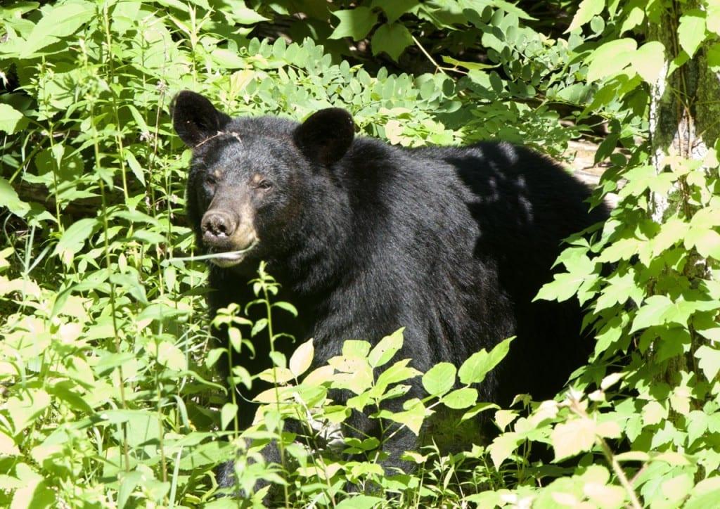 A black bear along Skyline Drive in the Shenandoah National Park, Virginia: Glynn Wilson