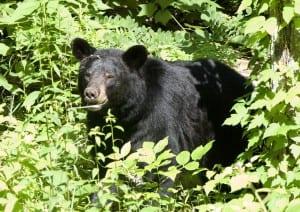 Shenandoah_black-bear1z.jpg
