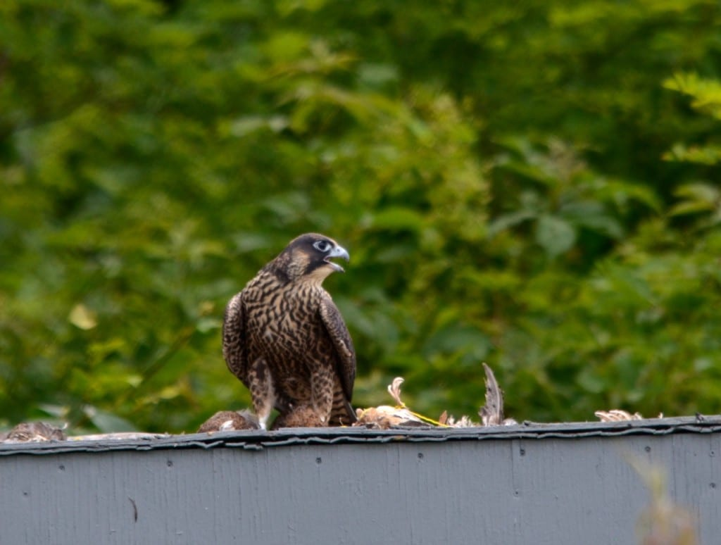 Shenandoah_falcon-quail1b