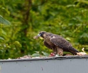 Shenandoah_falcon-quail1c