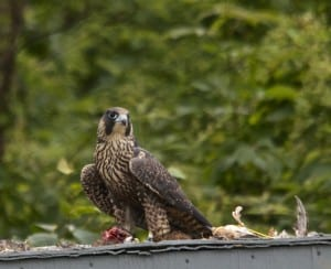 Shenandoah_falcon-quail1d