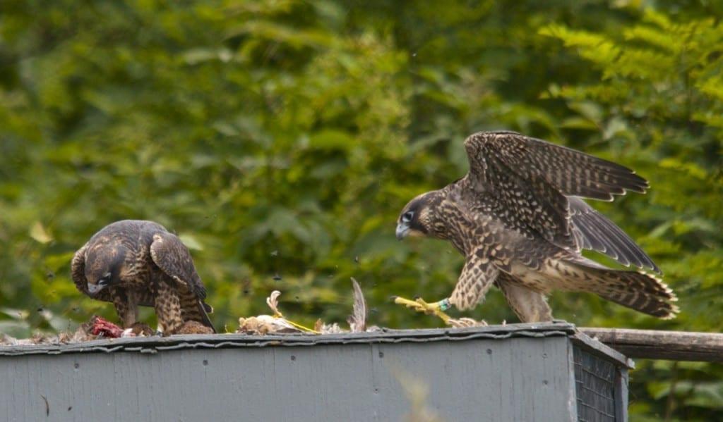 Shenandoah_falcon-quail1e