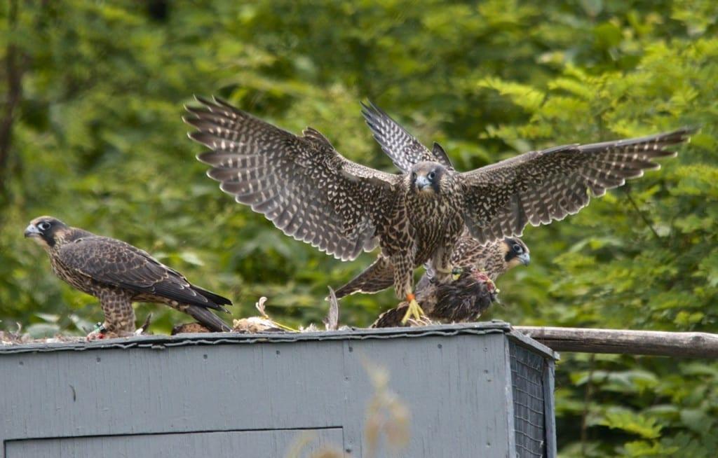 Shenandoah_falcon-quail1f