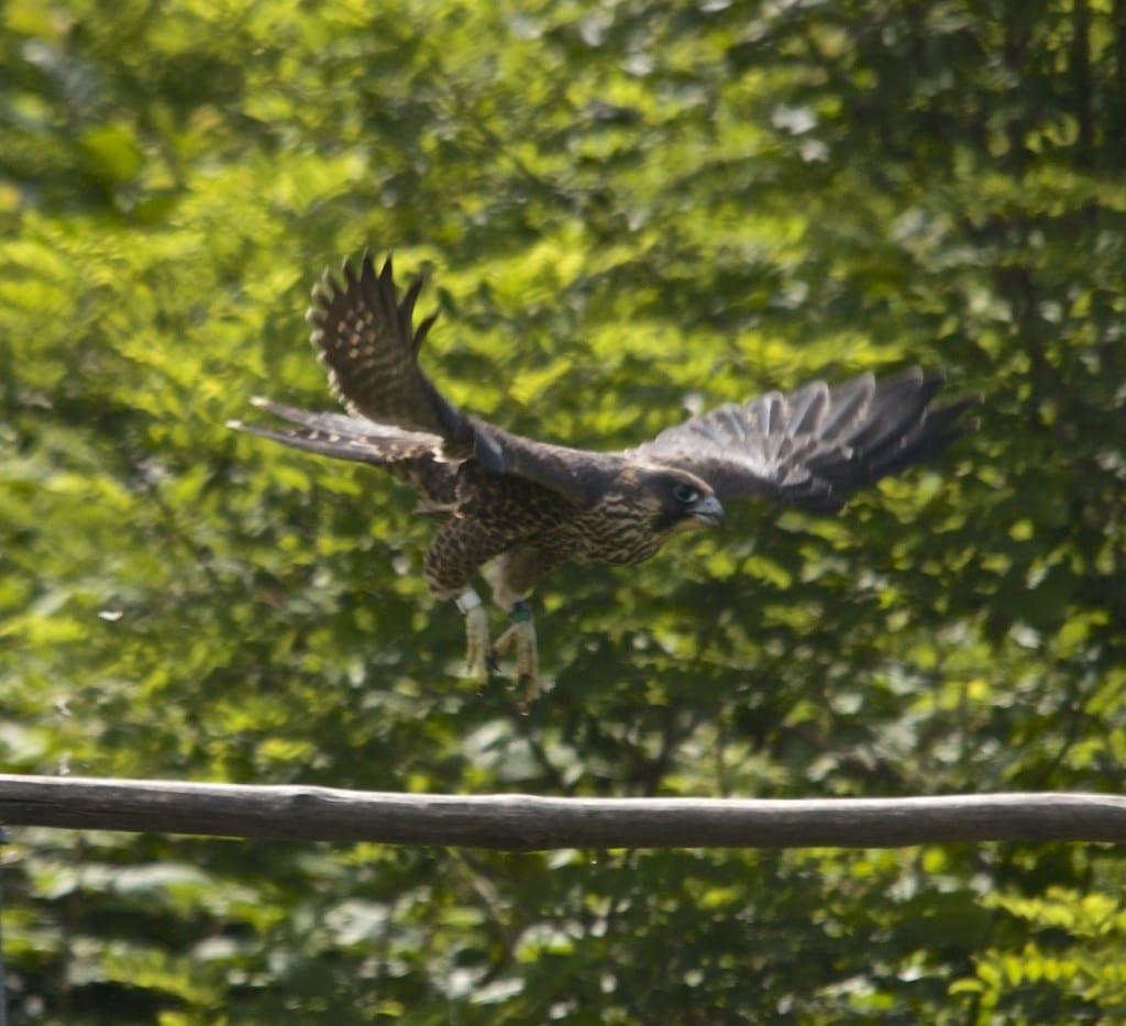 Shenandoah_falcon-quail1g