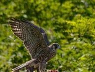 Shenandoah_falcon-quail1h