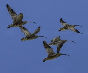 Handout photo of Far Eastern Curlew shore birds