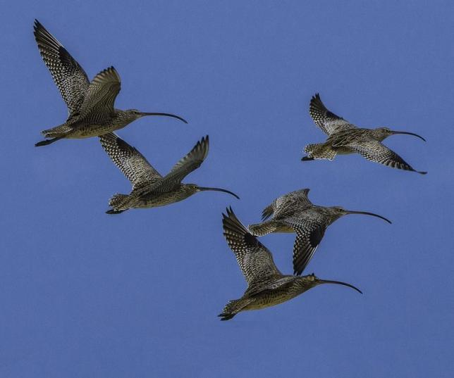 Handout photo of Far Eastern Curlew shore birds