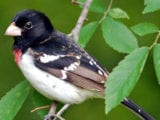 rbreasted_grosbeak55n