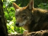Can the Red Wolf Survive in the Wild?