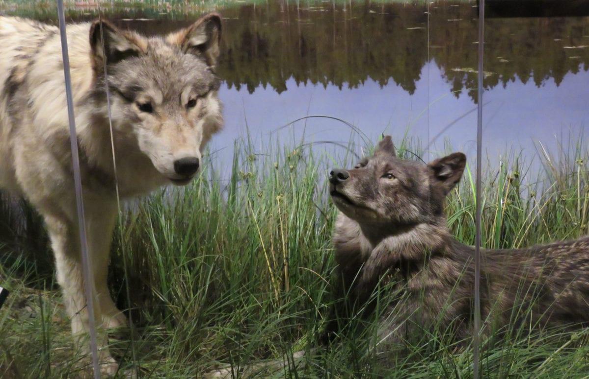 Wolves9i