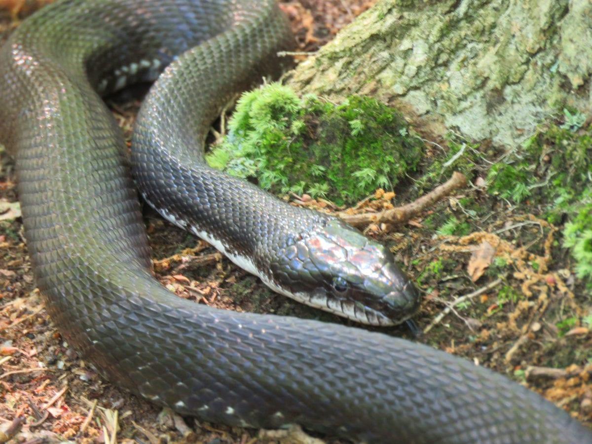 Greenbelt_black-snake2b