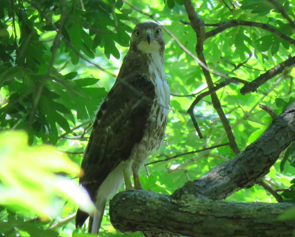 Greenbelt_hawk1a