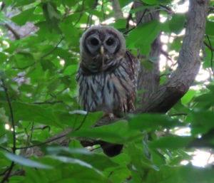 greenbelt_owl1a