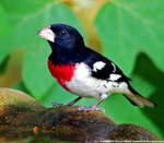 male_grosbeakrb42512bg.jpg